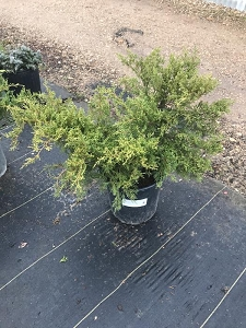 Old Gold Juniper